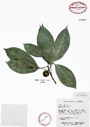 (Ficus yoponensis - Gomez102)  @11 [ ] Copyright  K. Hernandez y P. Mendoza 2010 Unspecified