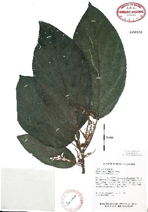 (Myriocarpa - Velasco103)  @11 [ ] Copyright  K. Hernandez y P. Mendoza 2010 Unspecified