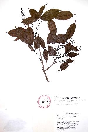 (Platymiscium - Corona176)  @11 [ ] CreativeCommons - Attribution Non-Commercial Share-Alike (2013) Ismari Ramirez Instituto de Biologia UNAM