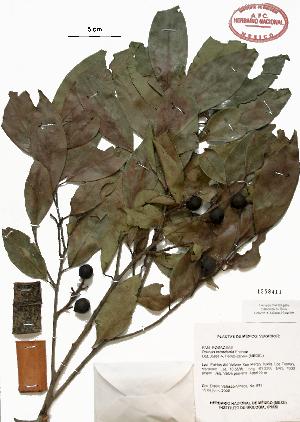 (Prunus tetradenia - Velasco685)  @11 [ ] Copyright  K. Hernandez y P. Mendoza 2010 Unspecified
