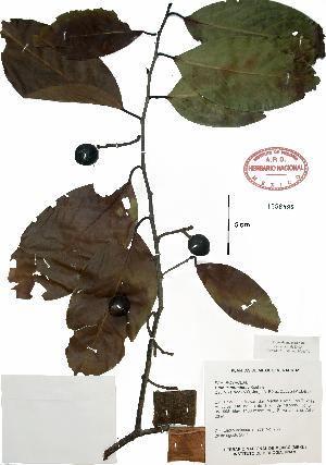 (Prunus tetradenia - Velasco766)  @11 [ ] Copyright  K. Hernandez y P. Mendoza 2010 Unspecified