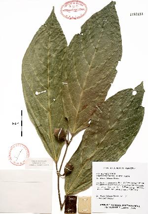 (Quararibea - Velasco127)  @11 [ ] Copyright (2010) Unspecified Universidad Nacional Autonoma de Mexico, Instituto de Biologia