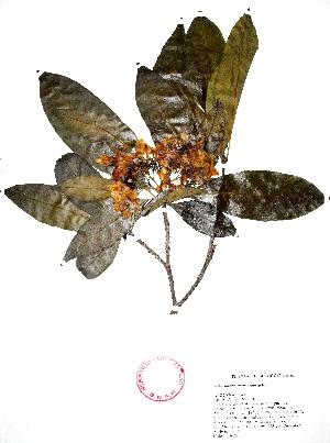 (Tabernaemontana arborea - Campos6751)  @11 [ ] CreativeCommons - Attribution Non-Commercial Share-Alike (2013) Ismari Ramirez Instituto de Biologia UNAM