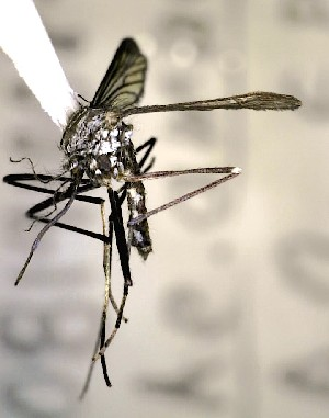 (Aedes amabilis - AIO18)  @11 [ ] Attribution Non-Commercial Share-Alike (2015) Unspecified Universidad Autonoma Agraria Antonio Narro Unidad Laguna