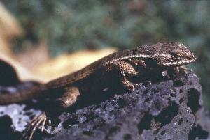 (Sceloporus variabilis - MXHER105)  @11 [ ] Copyright (2010) Copyright Museo de Zoologa