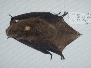 (Myotis peninsularis - CIBNOR 10913)  @13 [ ] Copyright  Unspecified Unspecified