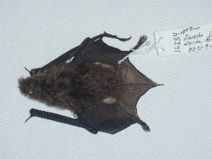 (Myotis peninsularis - CIBNOR 16354)  @13 [ ] Copyright  Unspecified Unspecified