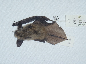 (Myotis evotis - CIBNOR 4884)  @13 [ ] Copyright  Unspecified Unspecified