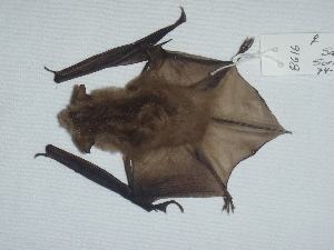 (Myotis yumanensis - CIBNOR 8616)  @13 [ ] Copyright  Unspecified Unspecified