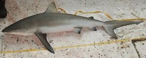 (Carcharhinus perezii - MXV0599)  @14 [ ] CreativeCommons - Attribution Non-Commercial Share-Alike (2012) Manuel Mendoza El Colegio de la Frontera Sur, Unidad Campeche