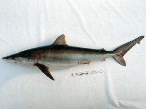 (Carcharhinus signatus - MXV0600)  @11 [ ] by-nc-sa - Creative Commons - Attribution Non-Comm Share-Alike (2012) Manuel Mendoza El Colegio de la Frontera Sur, Unidad Campeche