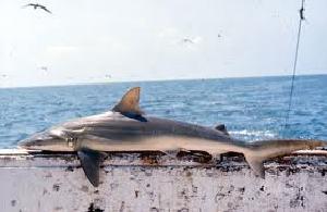 (Carcharhinus acronotus - MXV0602)  @11 [ ] Copyright (2012) George Burgess flmnh.ufl.edu