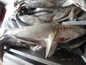 (Carcharhinus acronotus - MXV690)  @11 [ ] by-nc-sa - Creative Commons - Attribution Non-Comm Share-Alike (2015) Martha Valdez-Moreno El Colegio de la Frontera Sur