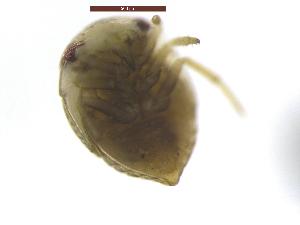(Helotrephidae - MyaBagoFeb2_16_G1)  @11 [ ] Copyright © (2016) TorErikEriksen Norwegian Institute for Water Research