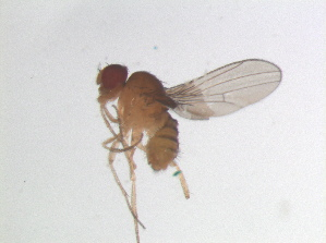 (Hirtodrosophila levigata - MYCBR136d2)  @12 [ ] No Rights Reserved  Unspecified Unspecified