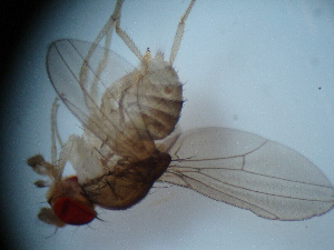 (Hirtodrosophila morgani - MYCBR138)  @12 [ ] No Rights Reserved  Unspecified Unspecified