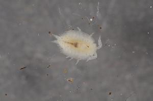 (Platyarthridae - BC ZSM MYR 00535)  @14 [ ] CreativeCommons - Attribution Non-Commercial Share-Alike (2010) Joerg Spelda SNSB, Zoologische Staatssammlung Muenchen