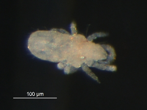 (Terpnacaridae - BIOUG01943-59)  @13 [ ] CreativeCommons - Attribution Non-Commercial Share-Alike (2012) Monica Young Biodiversity Institute of Ontario