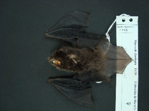 (Myotis elegans - MAMX-214)  @14 [ ] Unspecified (default): All Rights Reserved  Unspecified Unspecified