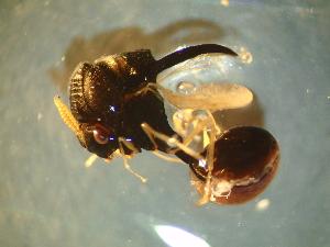 (Eucharitidae - Ant-paras_056)  @11 [ ] creative commons (2014) Gabriela Perez-Lachaud ECOSUR