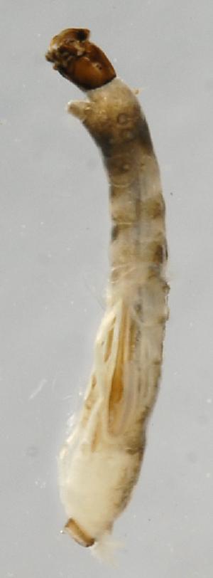 (Simulium ethelae - INB0004335410)  @12 [ ] Copyright (2012) M. Zumbado Instituto Nacional de Biodiversidad