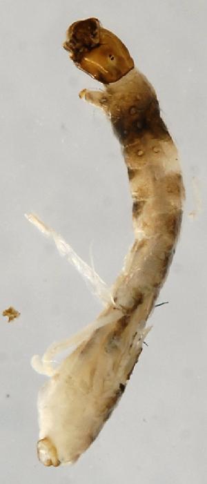 (Simulium paynei s.l - INB0004335426)  @12 [ ] Copyright (2012) M. Zumbado Instituto Nacional de Biodiversidad