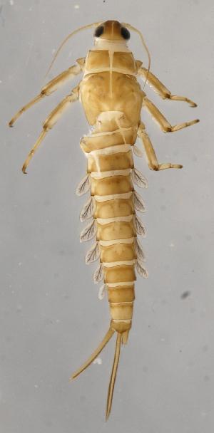 (Baetis SADR02 - INB0004335949)  @14 [ ] Copyright (2012) M. Zumbado Instituto Nacional de Biodiversidad