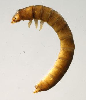 (Ptilodactylidae - INB0004340827)  @14 [ ] Copyright (2012) M. Zumbado Instituto Nacional de Biodiversidad