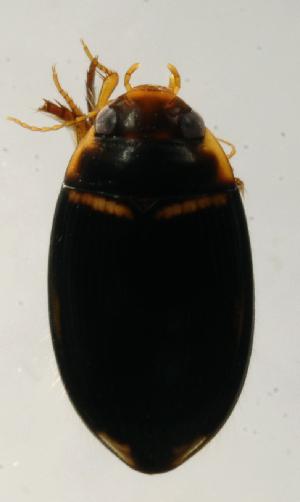 (DytisGn1 - INB0004340833)  @12 [ ] Copyright (2012) M. Zumbado Instituto Nacional de Biodiversidad