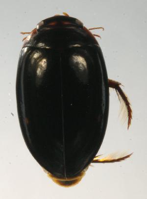 (DytisGn1 - INB0004340834)  @13 [ ] Copyright (2012) M. Zumbado Instituto Nacional de Biodiversidad
