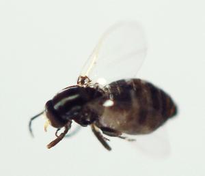 (Simulium quadrivittatum - INB0004344675)  @13 [ ] Copyright (2012) M. Zumbado Instituto Nacional de Biodiversidad