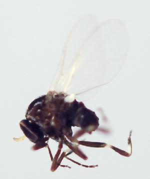 (Simulium quadrivittatum - INB0004344676)  @13 [ ] Copyright (2012) M. Zumbado Instituto Nacional de Biodiversidad