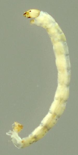 (ChiroGn1 - INB0004344733)  @12 [ ] Copyright (2012) M. Zumbado Instituto Nacional de Biodiversidad