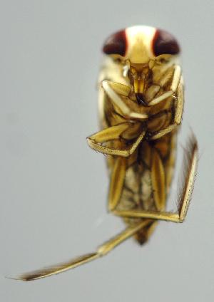 (Notonecta SADR01 - INB0004344954)  @11 [ ] Copyright (2012) M. Zumbado Instituto Nacional de Biodiversidad