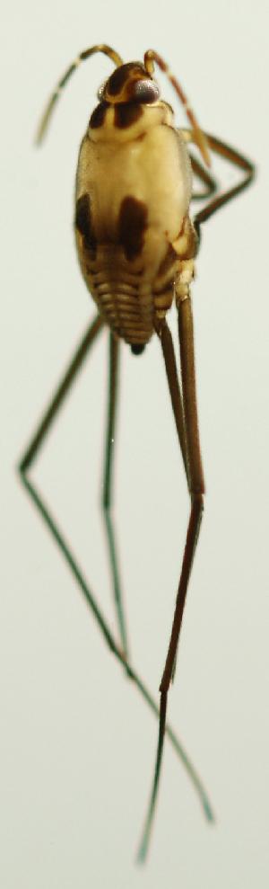 (Eurygerris - INB0004345005)  @12 [ ] Copyright (2012) M. Zumbado Instituto Nacional de Biodiversidad