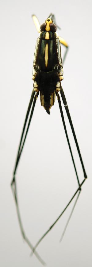 (Trepobatinae - INB0004345026)  @13 [ ] Copyright (2012) M. Zumbado Instituto Nacional de Biodiversidad