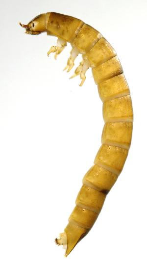 (Ptilodactylidae - INB0004352045)  @14 [ ] Copyright (2013) M. Zumbado Instituto Nacional de Biodiversidad