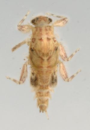 (Leptohyphidae - INB0004358857)  @13 [ ] Copyright (2013) M. Zumbado Instituto Nacional de Biodiversidad