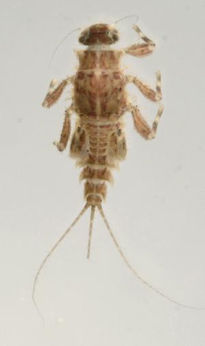(Leptohyphidae - INB0004358858)  @13 [ ] Copyright (2013) M. Zumbado Instituto Nacional de Biodiversidad