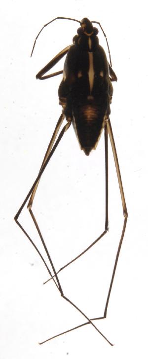 (Flavolineatus - INB0004359217)  @11 [ ] Copyright (2013) M. Zumbado Instituto Nacional de Biodiversidad