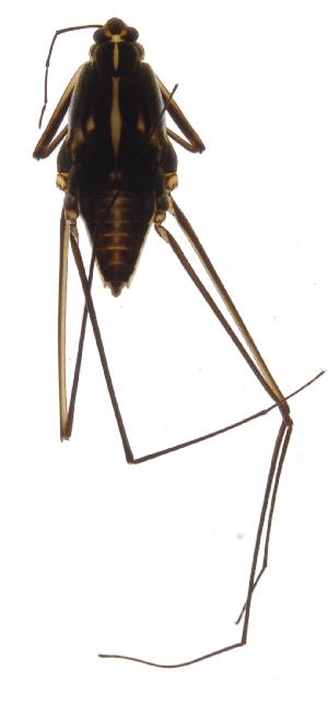 (Flavolineatus - INB0004359355)  @11 [ ] Copyright (2013) M. Zumbado Instituto Nacional de Biodiversidad