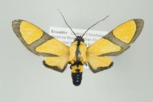 (Ormetica - Arcec 30586)  @15 [ ] Copyright (2009) Gunnar Brehm Institut fuer Spezielle Zoologie und Evolutionsbiologie, Friedrich-Schiller Universität Jena