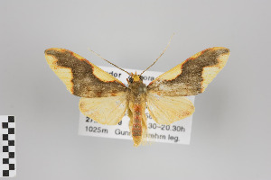 (Parevia - Arcec 31101)  @14 [ ] Copyright (2013) Gunnar Brehm Institut fuer Spezielle Zoologie und Evolutionsbiologie, Friedrich-Schiller Universität Jena