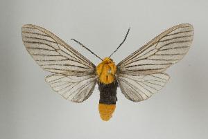 (Pseudischnocampa - Arcec 31923)  @14 [ ] Copyright (2010) Gunnar Brehm Institut fuer Spezielle Zoologie und Evolutionsbiologie, Friedrich-Schiller Universitat Jena
