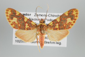 (Trichromia - Arcec 32088)  @15 [ ] Copyright (2010) Gunnar Brehm Institut fuer Spezielle Zoologie und Evolutionsbiologie, Friedrich-Schiller Universität Jena