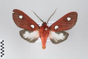 (Hyperthaema - Arcec 32444)  @15 [ ] Copyright (2011) Gunnar Brehm Institut fuer Spezielle Zoologie und Evolutionsbiologie, Friedrich-Schiller Universitat Jena