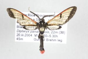 (Abrochia - ArcCR 41893)  @14 [ ] Copyright (2010) Gunnar Brehm Institut fuer Spezielle Zoologie und Evolutionsbiologie, Friedrich-Schiller Universitat Jena