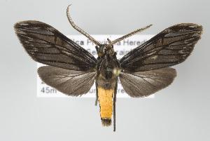 (Metacrocea - ArcCR 42057)  @14 [ ] Copyright (2010) Gunnar Brehm Institut fuer Spezielle Zoologie und Evolutionsbiologie, Friedrich-Schiller Universitat Jena