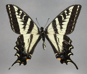 (Papilio eurymedon - 2823nk-kd6)  @14 [ ] No Rights Reserved (2010) Unspecified Unspecified
