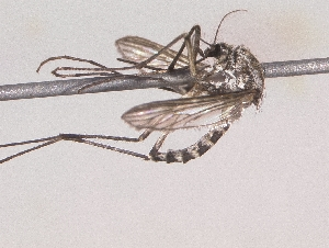 (Aedes implicatus - Moo_Ocml_04)  @13 [ ] Unspecified (default): All Rights Reserved  Unspecified Unspecified